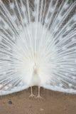 σπάνιο λευκό peacock πουλιών καλό Στοκ φωτογραφίες με δικαίωμα ελεύθερης χρήσης