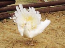 σπάνιο λευκό peacock πουλιών καλό Στοκ φωτογραφία με δικαίωμα ελεύθερης χρήσης