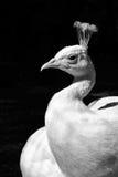 σπάνιο λευκό peacock πουλιών καλό στοκ εικόνες