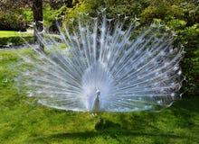 σπάνιο λευκό peacock πουλιών καλό Στοκ Φωτογραφία
