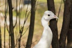 σπάνιο λευκό peacock πουλιών καλό Στοκ Εικόνα