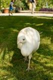 σπάνιο λευκό peacock πουλιών καλό Στοκ εικόνα με δικαίωμα ελεύθερης χρήσης