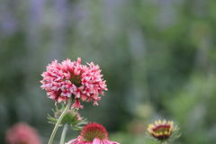 Σπάνιο χρώμα λουλουδιών Στοκ Εικόνες