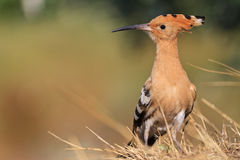 Σπάνιο, όμορφο πουλί με ένα ζωηρόχρωμο φτέρωμα Στοκ Εικόνες