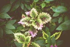 Σπάνιο Coleus olenostemon scutellarioides Στοκ φωτογραφία με δικαίωμα ελεύθερης χρήσης