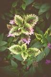 Σπάνιο Coleus olenostemon scutellarioides Στοκ Φωτογραφία
