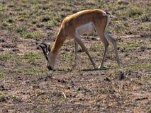 Σπάνιο Soemmering gazelle, Gazella soemmeringi, εθνικό πάρκο Awash, Αιθιοπία στοκ εικόνες