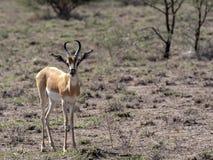 σπάνιο Soemmering gazelle, Gazella soemmeringi, εθνικό πάρκο Awash, Αιθιοπία στοκ εικόνες με δικαίωμα ελεύθερης χρήσης