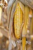 Σπάδικας καλαμποκιού στον τομέα Αυτί του καλαμποκιού το φθινόπωρο πριν από την έννοια γεωργίας συγκομιδών Στοκ εικόνα με δικαίωμα ελεύθερης χρήσης
