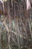 Σπίτι δέντρων Anping Αυτή η παλαιά αποθήκη εμπορευμάτων καλύπτεται από διακλαδισμένος του αρχαίου κλάδου δέντρων Banyan που είναι Στοκ φωτογραφία με δικαίωμα ελεύθερης χρήσης