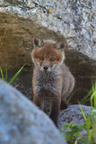 σπίτι αλεπούδων κόκκινος στοκ εικόνες