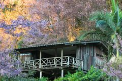 Σπίτι του άγριου κερασιού Himalayan sakura στην επαρχία Chiangmai, Ταϊλάνδη Στοκ Εικόνες