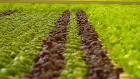 Σπανάκι και βασιλικός που αυξάνονται πρόσφατα στο θερμοκήπιο φιλμ μικρού μήκους