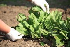 σπανάκι φυτών Στοκ Εικόνα