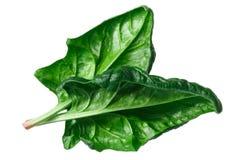 Σπανάκι s φύλλα oleracea, πορείες Στοκ Φωτογραφίες