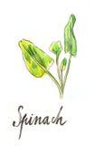 Σπανάκι Watercolor απεικόνιση αποθεμάτων