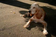 Σπανιέλ που βρίσκεται στο πεζοδρόμιο Σκυλί που περιμένει τον κύριό του στο sto στοκ φωτογραφίες με δικαίωμα ελεύθερης χρήσης