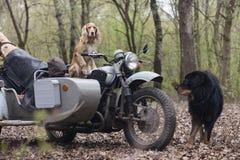 Σπανιέλ σκυλιών και παλαιά σοβιετική μοτοσικλέτα στα ξύλα στοκ φωτογραφίες με δικαίωμα ελεύθερης χρήσης