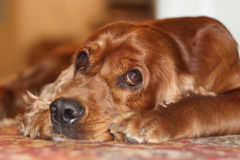 Σπανιέλ σκυλιών Στοκ Φωτογραφίες