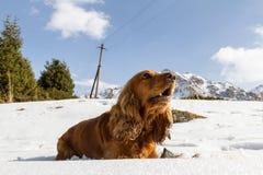 Σπανιέλ στο χιόνι Στοκ φωτογραφίες με δικαίωμα ελεύθερης χρήσης