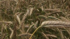 Σπαρμένες τομέας συγκομιδές σιταριού Ωριμάζοντας spikelets αρχίζουν να κλίνουν προς το έδαφος φιλμ μικρού μήκους
