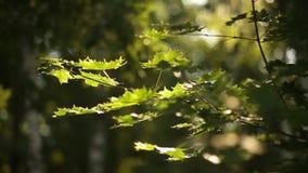Σπασίματα φωτός του ήλιου μέσω των πράσινων φύλλων του σφενδάμνου απόθεμα βίντεο