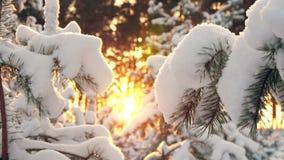 Σπασίματα χειμερινών ήλιων μέσω των χιονισμένων κλάδων έλατου Στοκ Φωτογραφίες