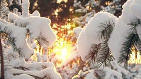 Σπασίματα χειμερινών ήλιων μέσω των χιονισμένων κλάδων έλατου Στοκ Εικόνες