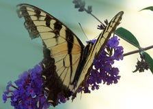 Σπασμένη μαύρη και χρυσή πεταλούδα φτερών στο πορφυρό λουλούδι στοκ φωτογραφία
