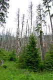 Σπασμένοι κορμοί των δέντρων σε ένα δάσος βουνών στοκ φωτογραφίες