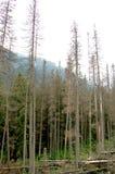 Σπασμένοι κορμοί των δέντρων σε ένα δάσος βουνών στοκ φωτογραφία