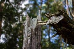 σπασμένος κορμός δέντρων Στοκ εικόνες με δικαίωμα ελεύθερης χρήσης