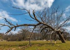 Σπασμένο δέντρο μηλιάς σε ένα λιβάδι στην Κροατία μια εν μέρει νεφελώδη ημέρα την άνοιξη στοκ εικόνα με δικαίωμα ελεύθερης χρήσης