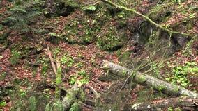 Σπασμένο δέντρο σε ένα δασικό ξέφωτο απόθεμα βίντεο