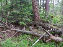 Σπασμένο να βρεθεί δέντρων πεύκων Στοκ Εικόνα