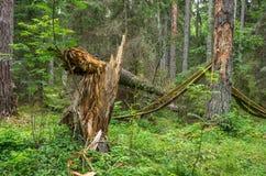 Σπασμένο στριμμένο δέντρο μετά από τον τυφώνα Στοκ Εικόνες