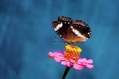 σπασμένο φτερό πεταλούδων Στοκ Φωτογραφία