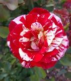 Σπασμένο peppermint ριγωτό Floribunda χρώματος του George εγκαύματα αυξήθηκε Στοκ Φωτογραφία