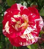 Σπασμένο peppermint ριγωτό Floribunda χρώματος του George εγκαύματα αυξήθηκε Στοκ φωτογραφία με δικαίωμα ελεύθερης χρήσης