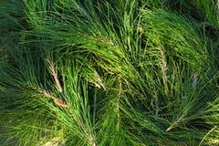 Σπείρες δέντρων πεύκων Στοκ Εικόνες