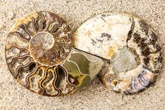 Σπειροειδές Ammonite απολίθωμα στο υπόβαθρο κινηματογραφήσεων σε πρώτο πλάνο άμμου Στοκ φωτογραφίες με δικαίωμα ελεύθερης χρήσης