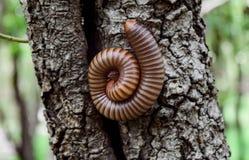 Σπειροειδές millipede Στοκ εικόνα με δικαίωμα ελεύθερης χρήσης