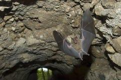 σπηλιά ροπάλων που πετά τζαμαϊκανό tikal της Γουατεμάλα καρπού Στοκ εικόνα με δικαίωμα ελεύθερης χρήσης