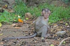 Σπηλιές Batu μωρών macaque σχεδόν Στοκ φωτογραφίες με δικαίωμα ελεύθερης χρήσης
