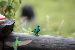 Σπινθήρισμα violetears σε μια θέση φρακτών στην οικολογική επιφύλαξη Antisana Στοκ Φωτογραφίες