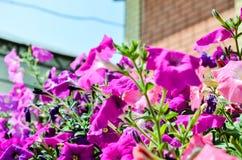 Σπιτικά ρόδινα λουλούδια Στοκ εικόνα με δικαίωμα ελεύθερης χρήσης
