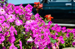 Σπιτικά ρόδινα λουλούδια Στοκ Φωτογραφία