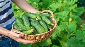 Σπιτικές καλλιέργεια και συγκομιδή αγγουριών στα χέρια των ατόμων Στοκ φωτογραφίες με δικαίωμα ελεύθερης χρήσης