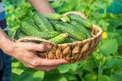 Σπιτικές καλλιέργεια και συγκομιδή αγγουριών στα χέρια των ατόμων Στοκ Φωτογραφίες