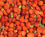 Σπιτικές φράουλες που συγκομίζονται δέκα λεπτά πριν μια ηλιόλουστη φωτεινή θερινή ημέρα Στοκ εικόνα με δικαίωμα ελεύθερης χρήσης